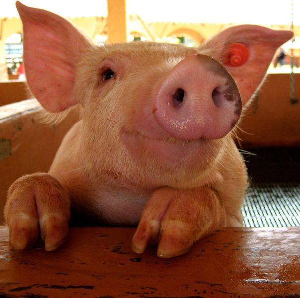 Смешные картинки про свиней (65 фото)
